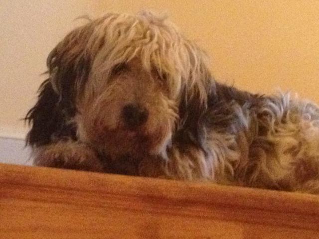 Stanley as sheepdog